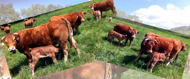 Vacas llemosina a Collfred